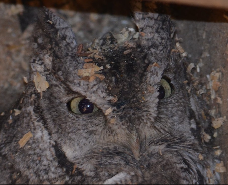 Screech Owl surprised when cleaning out Wood Duck box.