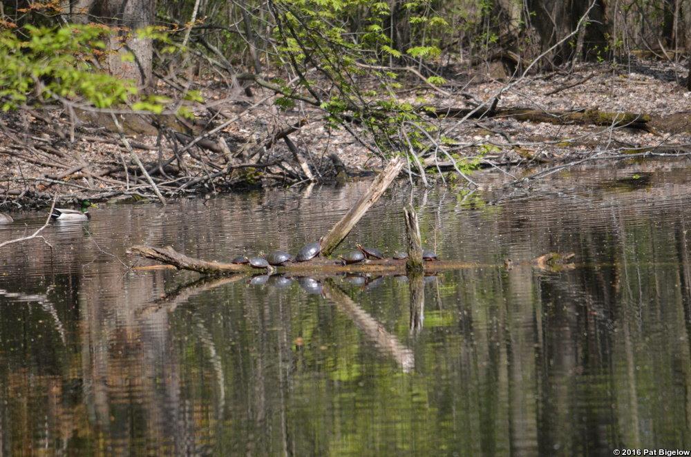 Arboretum Turtles