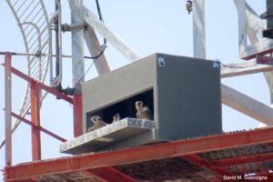 Peregrine Falcon 2019 Report