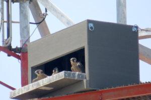 Peregrine Falcon Fledge Watch 2020
