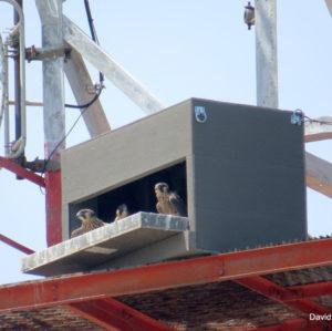 Peregrine Nest Box