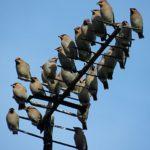 Waxwings (Bombycilla_garrulus)