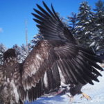 Closeup of 2 Bald Eagles