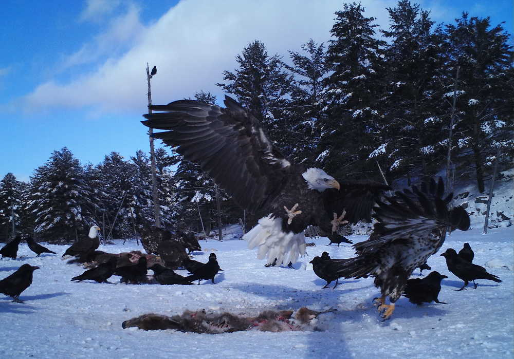Eagles and crows on carrion