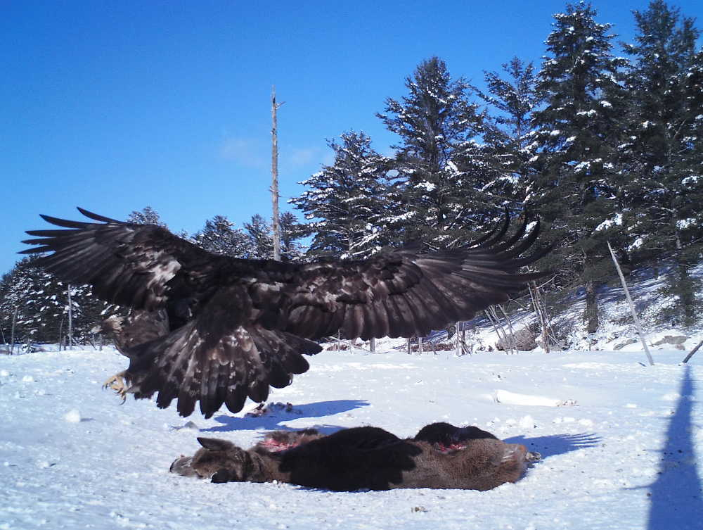 Eagle landing on carrion