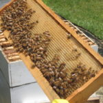 Western_Honey_Bees_and_Honeycomb