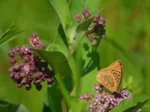 Great Spangled Fritillary on Milkweed