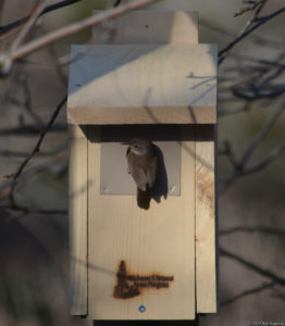 House Wren at Nest Box