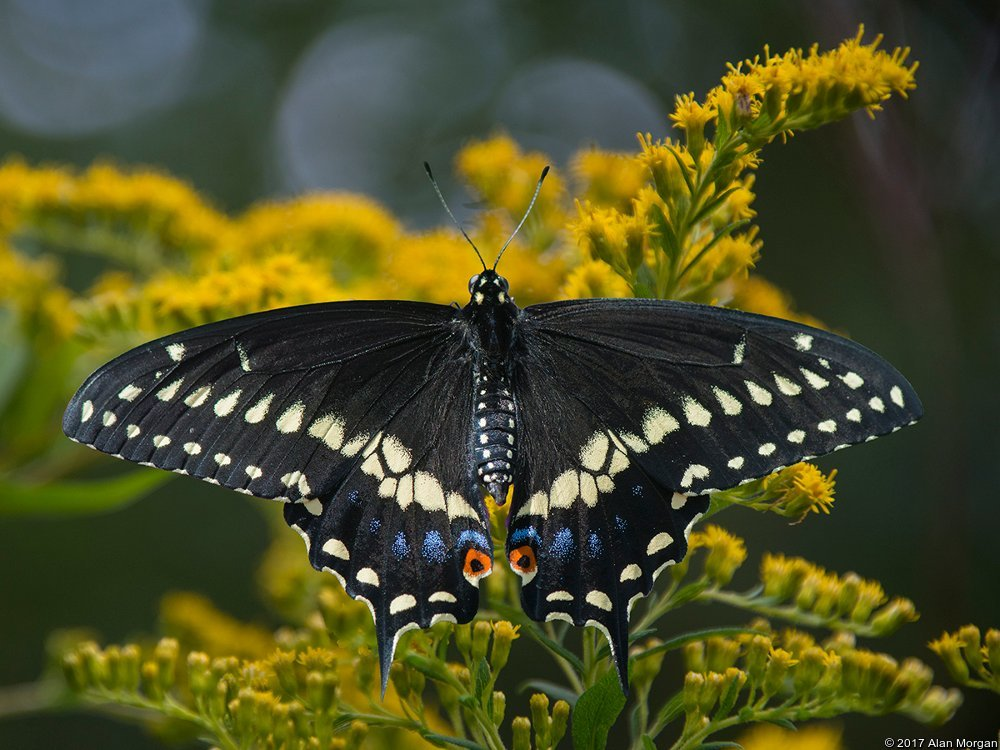 Black Swallowtail Butterfly - male