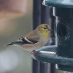 Great Backyard Bird Count 2018