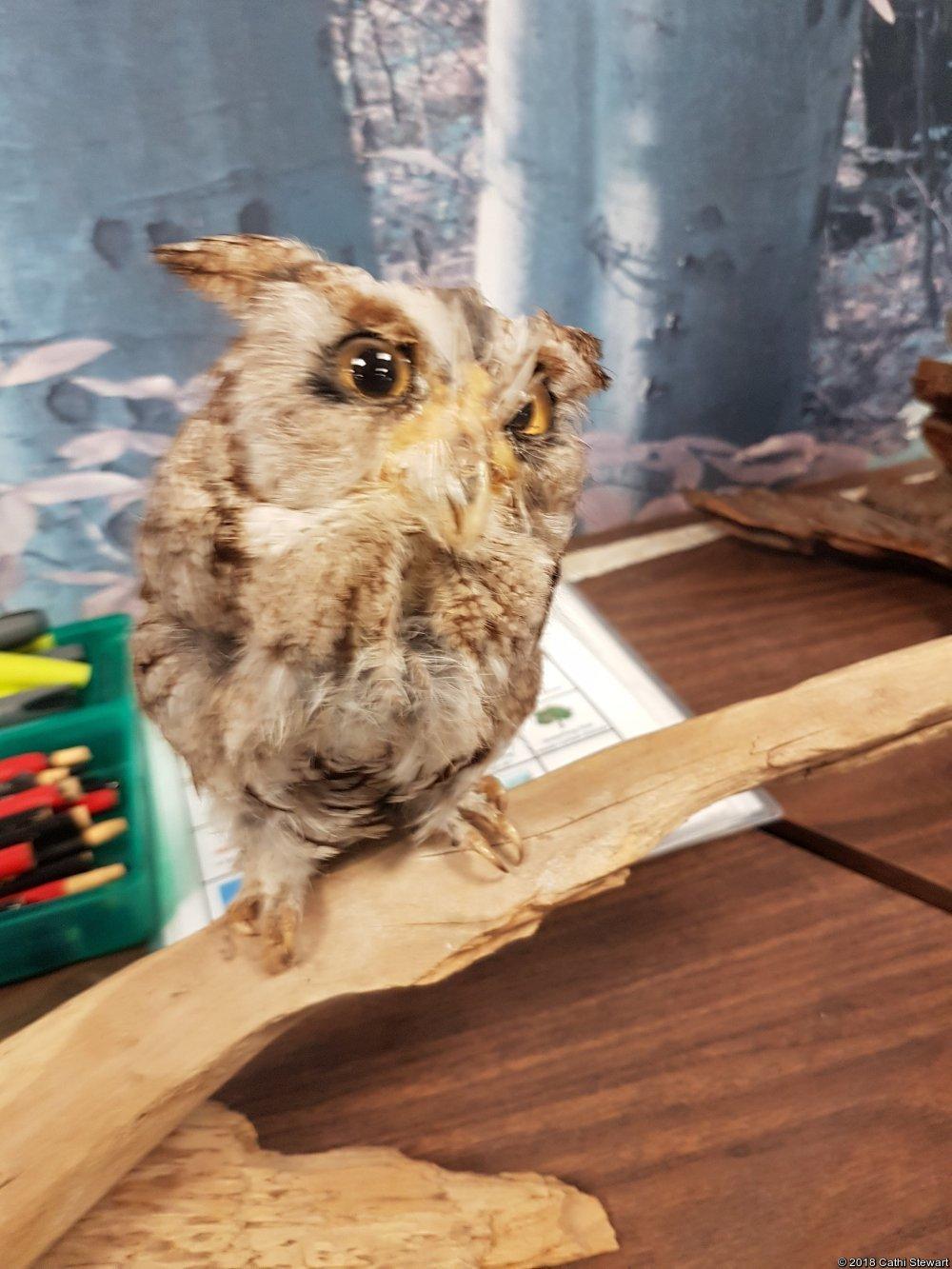 Easern Screech Owl (Stuffed)