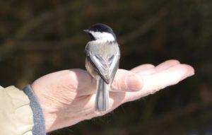 Chickadee On Hand