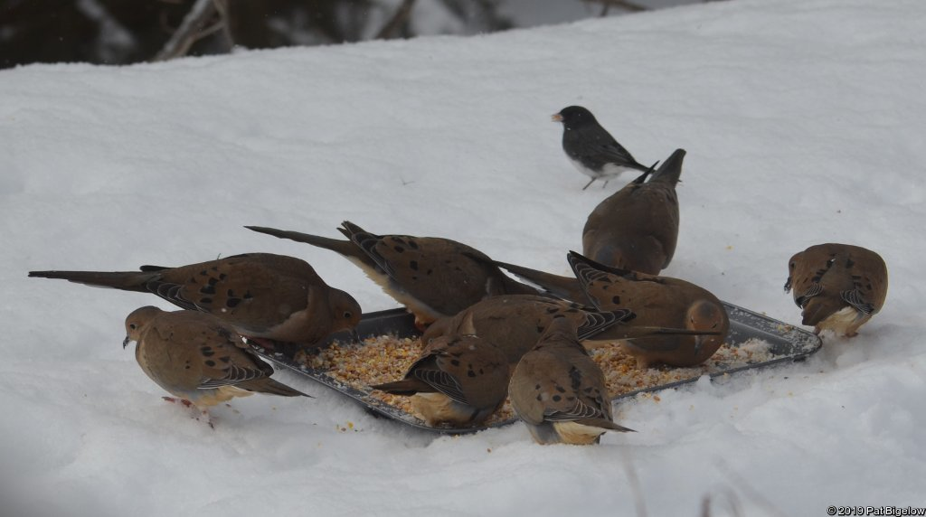 Mourning Doves (and a Dark-eyed Junco)