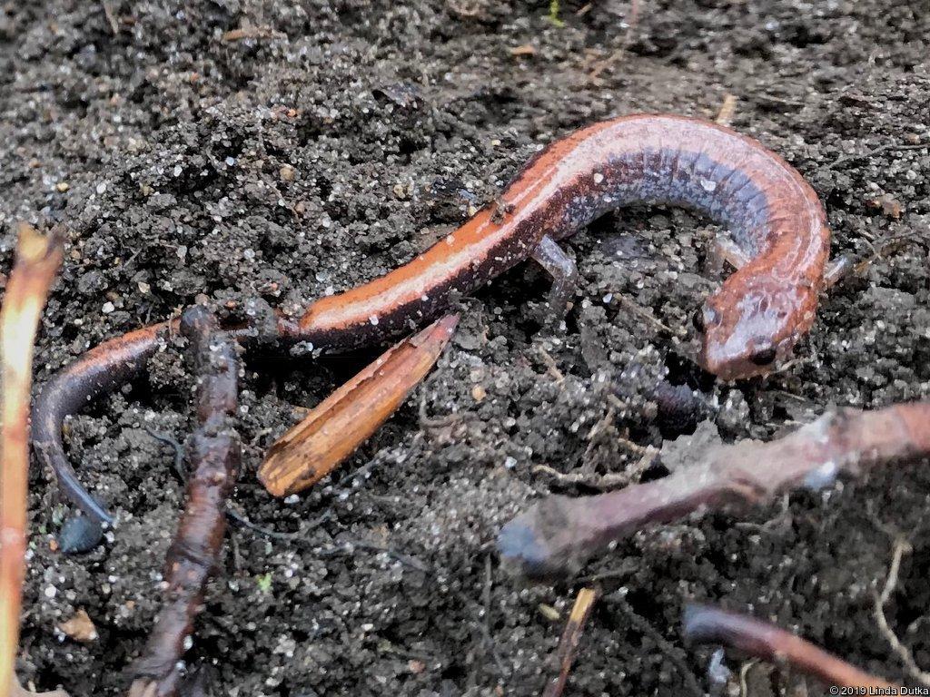 WRN Teens – Salamander Monitoring