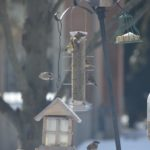 Great Backyard Bird Count 2020