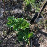 Giant Hogweed Monitoring at Montgomery